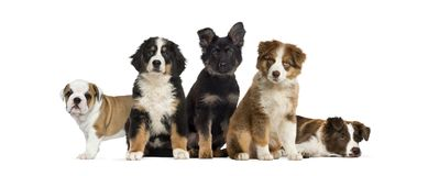 Group of puppies sitting in front of a white background. Isolated on white Stock Images
