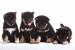 Group of puppies on  white background Royalty Free Stock Images