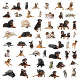Group of purebred dogs. Composite picture with purebred dogs in a white background Royalty Free Stock Image
