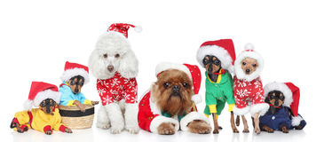 Group of purebred dogs in Christmas hats stock photo