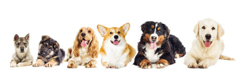 Group of purebred dogs Royalty Free Stock Images