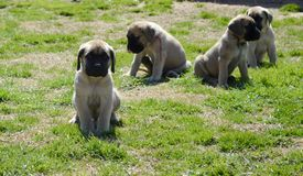 A group of purebred English Mastiff puppies playing outside on grass royalty free stock images