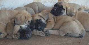 A group of purebred English Mastiff puppies sleeping outside Royalty Free Stock Image