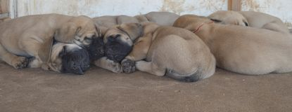 A group of purebred English Mastiff puppies sleeping outside Stock Images