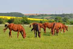 Group of purebred horses Royalty Free Stock Images