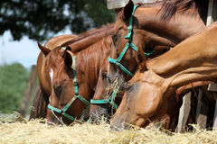 Group of purebred horses eating hay on rural animal farm Stock Photo