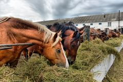 Group of purebred horses eating hay on rural animal farm. Stock Photos