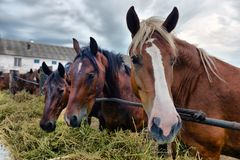 Group of purebred horses eating hay on rural animal farm. Royalty Free Stock Photography