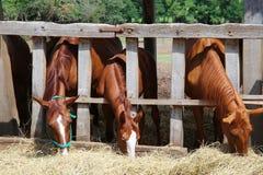Group of purebred horses eating hay rural scene on animal farm Stock Photo
