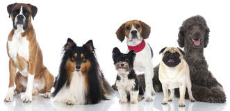 Group of purebreed dogs. Group of different dogs on white royalty free stock photos