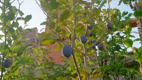 Group of purple (blue) plums get ripe on branch stock video