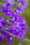 Group of purple campanula and sunlight Royalty Free Stock Photos
