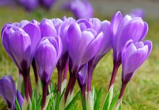 Group of purple crocuses Stock Images