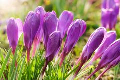 Group of purple crocuses outdoor Stock Images
