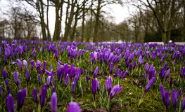 Group purple crocuses! Stock Images
