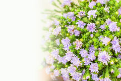Group of purple flower. Group of small purple and green flower for graduated gift stock images