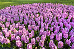 Group purple hyacinths. Stock Image