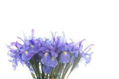 Group purple iris flowers isolated on white royalty free stock image