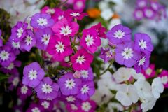 Group of purple pink white periwinkle flowers royalty free stock image