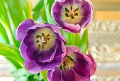 Group of purple tulips closeup Stock Photos