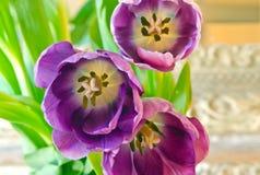 Group of purple tulips closeup Stock Photos