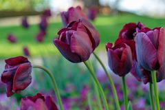 Group of purple tulips on the outdoor garden, close-up shot. Group of purple tulips on the outdoor garden, close up. Spring season Royalty Free Stock Photo