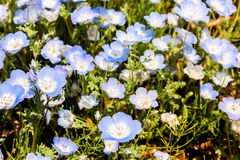 Group purple and white Nemophila spring flower in hitachi seaside park. Group of purple and white Nemophila spring flower in hitachi seaside park royalty free stock images