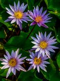 Group of purplel otus flower in pool Stock Image