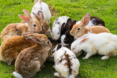 Group of rabbits Royalty Free Stock Image