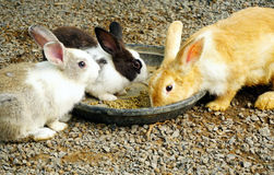 Group of rabbits eating food. In the garden Stock Images