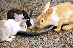 Group of rabbits eating food. In the garden Royalty Free Stock Photos