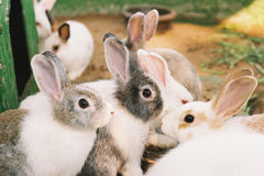 Group of rabbits in fram. Group of rabbits in fram at Bueng chawak zoo, Thailand Stock Photography