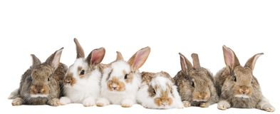 Group of rabbits in a row Royalty Free Stock Photo