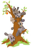 Group of Raccoons dominating an old persimmon tree Stock Photography