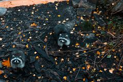 A group of raccoons enjoying the sunset at Park in Kaliningrad royalty free stock photography