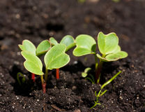 Group of radish sprouts. Growing from the ground Stock Photo