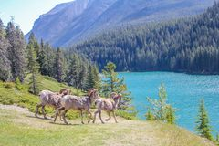 Big horns heading to the water, Banff National Park, Alberta, Canada. Group of rams heading to the water for a drink Royalty Free Stock Photography
