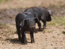Baby Pigs Stock Photos