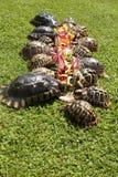 Group of rare terrestrial turtles eating vegetable. Rare terrestrial turtles in a garden royalty free stock image
