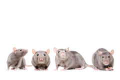 The group of rats Stock Images