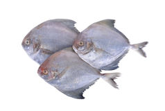 Group of raw black pomfret fish on white background. Group raw black pomfret fish on a white background Stock Image