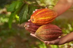 Group of raw cacao pods. On blurred plantation background stock image