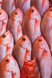 Raw red snapper fish. Group of raw, fresh red snapper fish Stock Photos