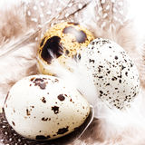 Group of Raw Quail Eggs with feathers macro. HQ photo of quail e Royalty Free Stock Images