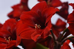 The group of Red Amaryllis Stock Photos