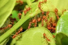 Group red ant build ant nest from green leaf in nature at forest thailand. Background, closeup, white, plant, working, tree, macro, detail, garden, wild stock photography