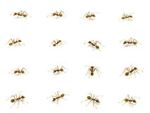 Group of Red ant isolated on white background. stock photography