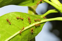 Group red ant on leaf.