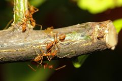 Group red ant on stick tree in nature at forest thailand. Green, leaf, background, closeup, white, plant, working, macro, detail, garden, wild, wildlife, team royalty free stock image