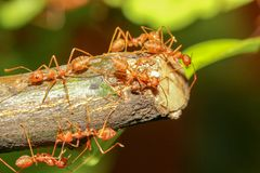 Group red ant on stick tree in nature at forest thailand. Green, leaf, background, closeup, white, plant, working, macro, detail, garden, wild, wildlife, team royalty free stock photography